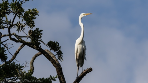 Great Egret Posing in Tree