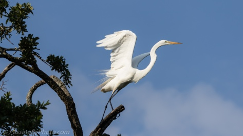 Great Egret Ready for Takeoff