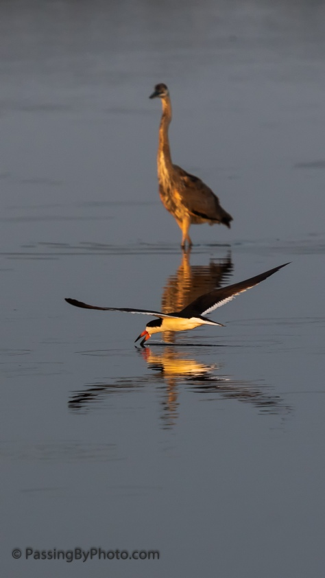 Black Skimmer and Great Blue Heron