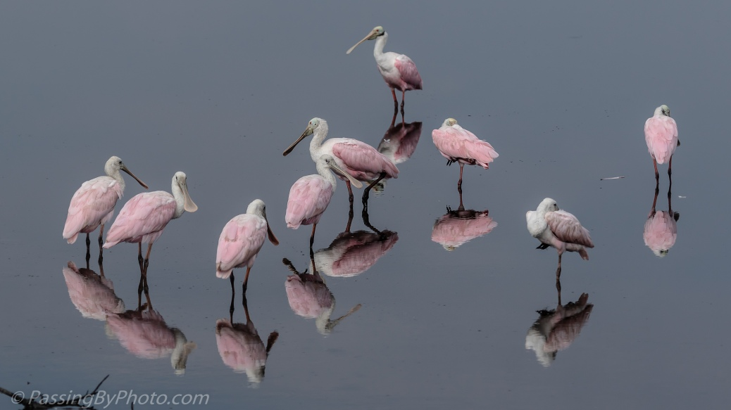 Bowl of Spoonbills