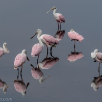 Bowl of Roseate Spoonbills