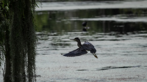 Green Heron Flies Away