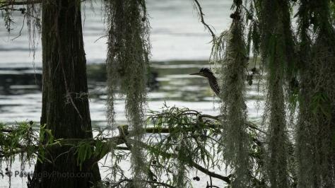 Green Heron Hiding in Spanish Moss