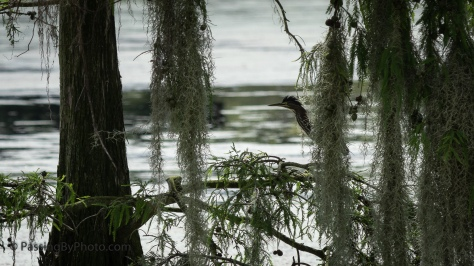 Green Heron Hiding in Spanish Moss