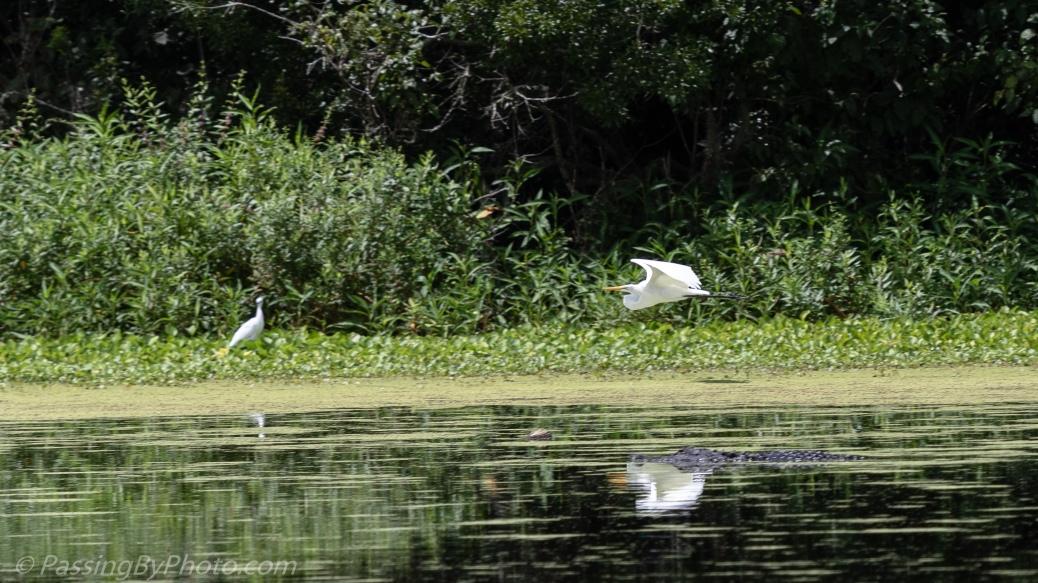 Great Egret Landing Over Alligator