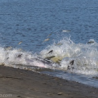 Dolphins Strand Feeding: Success