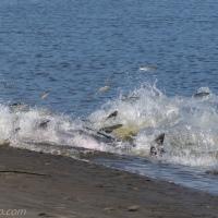 Dolphins Strand Feeding: Success