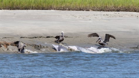 Dolphins Strand Feeding with Pelicans