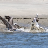 Dolphins Strand Feeding: Pelican Audience