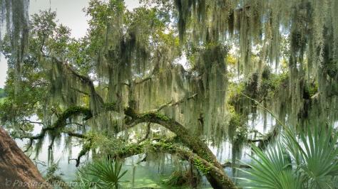 Spanish Moss Draped Tree