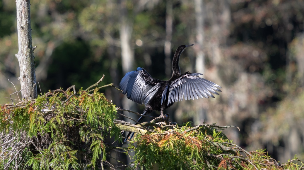Anhinga Drying in Sun