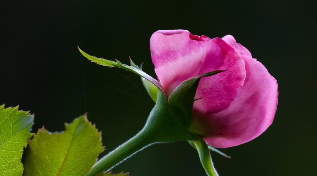 Pink Rose Blossom