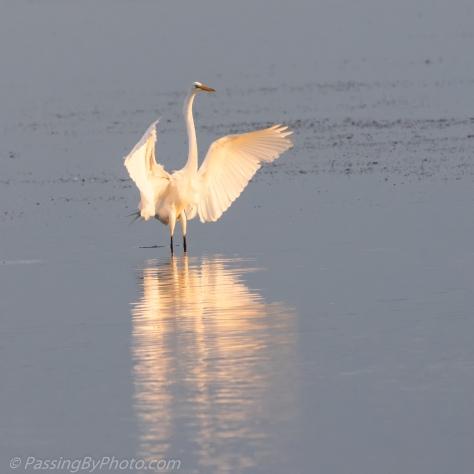 Great Egret Wings Spread for Landing