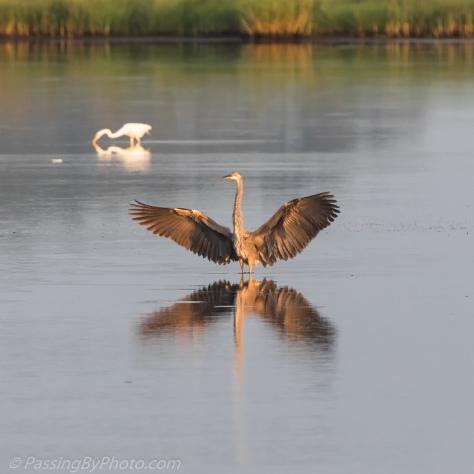 Great Blue Heron Wings Spread for Landing