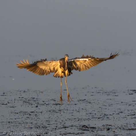 Tri-colored Heron Wings Spread for Landing