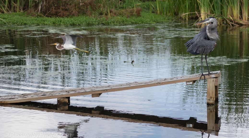 Tricolored Heron Passing Behind Great Blue Heron