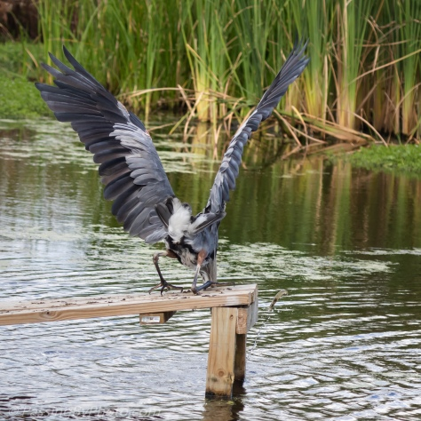 Great Blue Heron and Jumping Shrimp