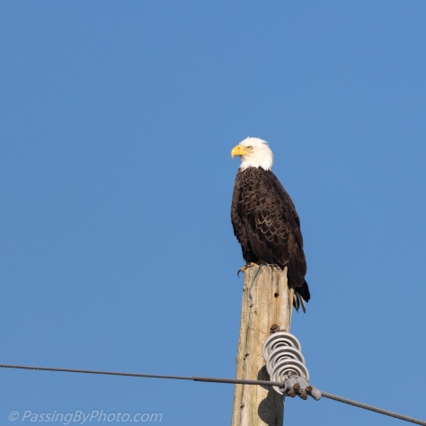 Bald Eagle on Utility Post