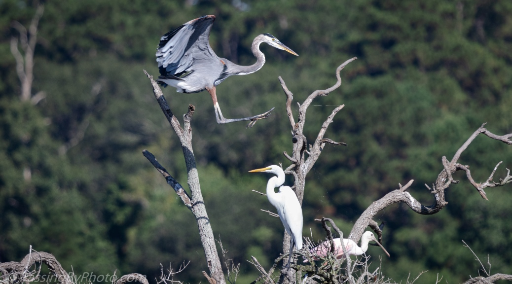 Great Blue Heron, Great Egret, and Roseate Spoonbill