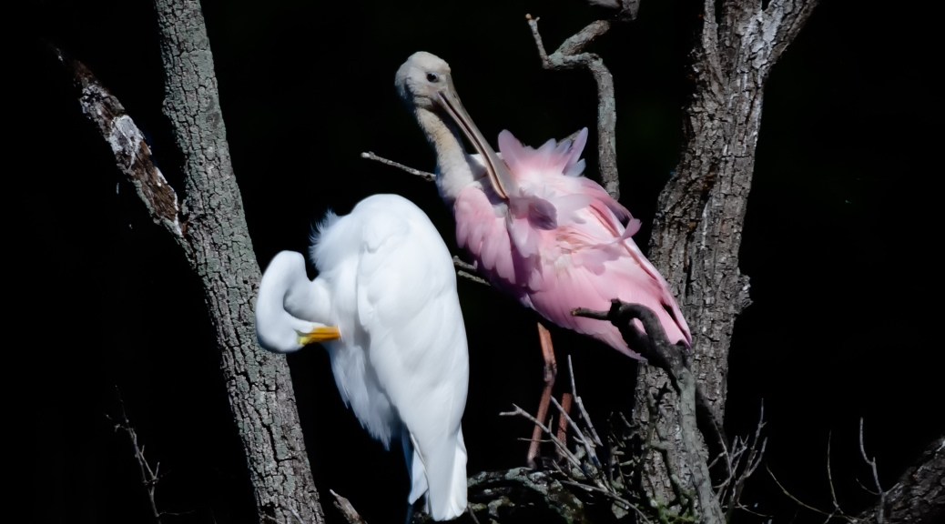 Great Egret and Roseate Spoonbill