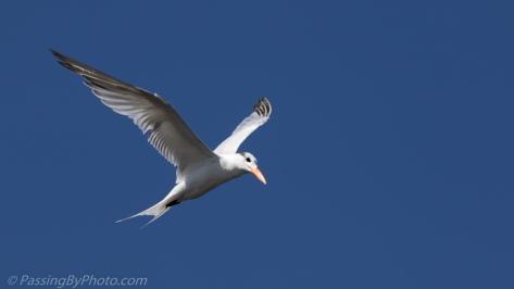 Royal Tern Hovering