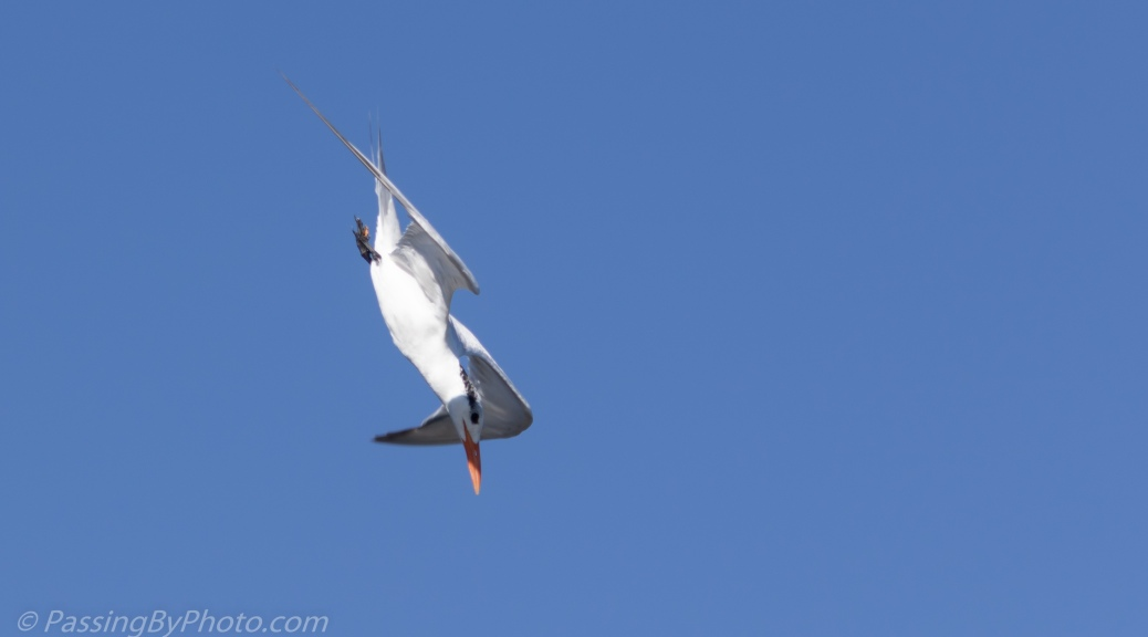 Royal Tern Diving