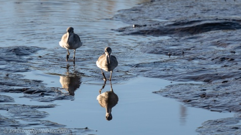 Wading Shore Birds