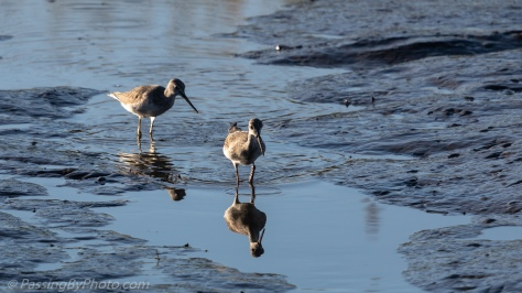 Wading Shore Birds