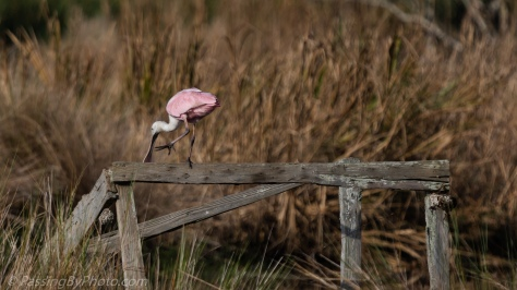 Roseate Spoonbill Walking Beam