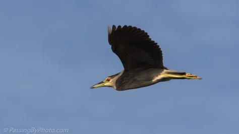 Black-crowned Night Heron in Flight