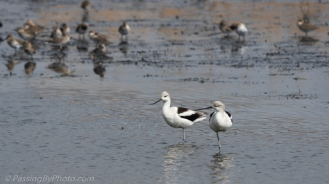 Two Avocet