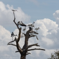 Wood Storks in a Dead Tree