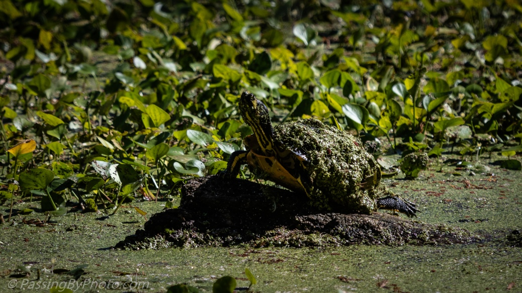 Yellow-bellied Slider