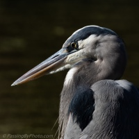 Great Blue Heron Head Shot