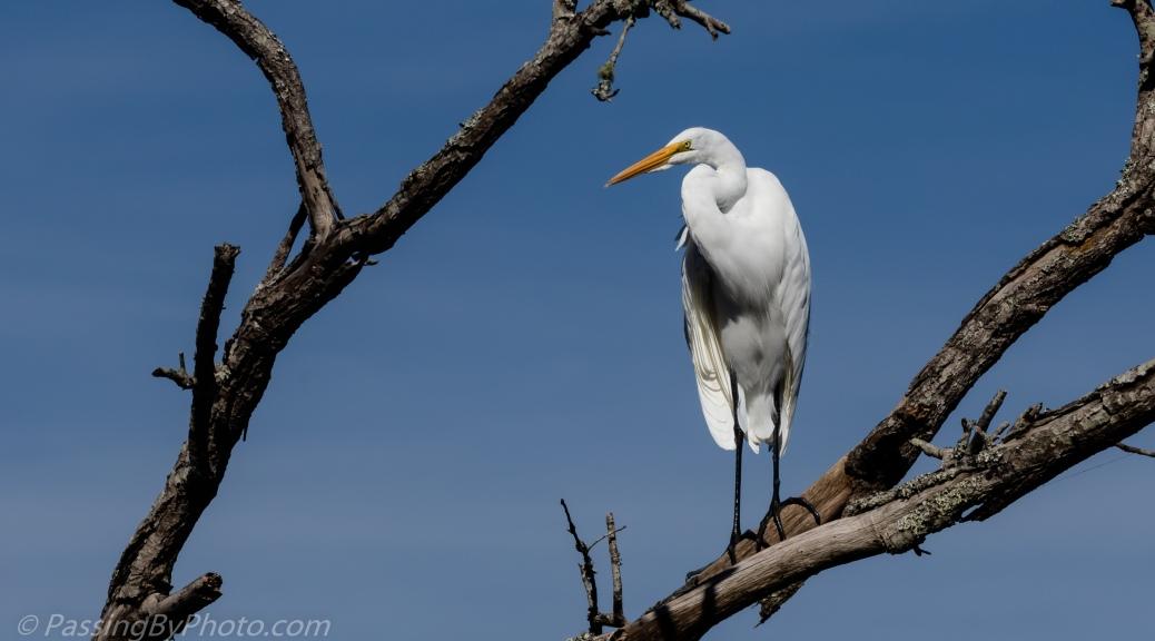 Great Egret in Dead Tree