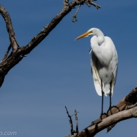 Great Egret Against the Blue