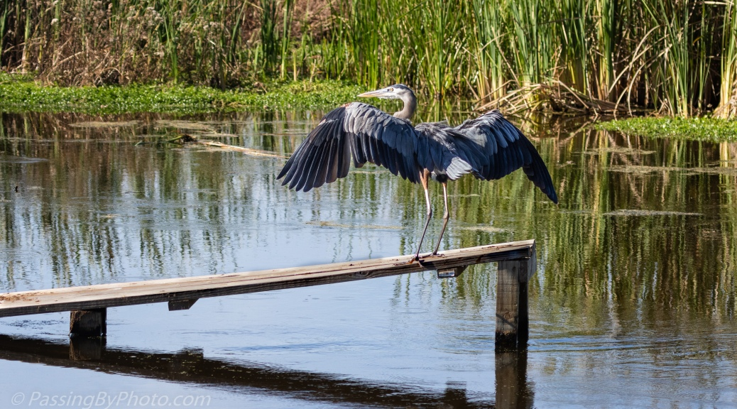 Great Blue Heron Touching Down