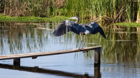 Great Blue Heron Touching Down