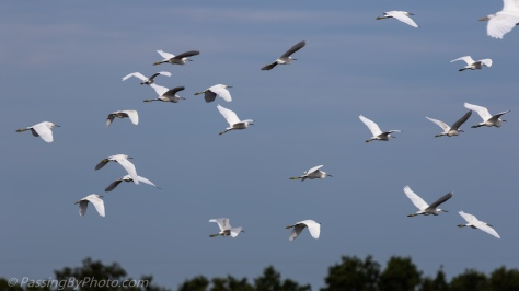 Egret Gathering Takes Flight