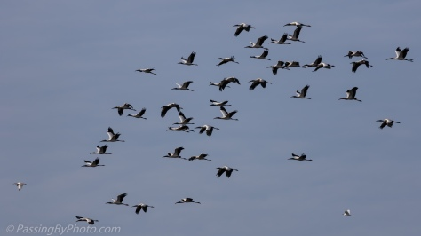 Wood Storks in Flight