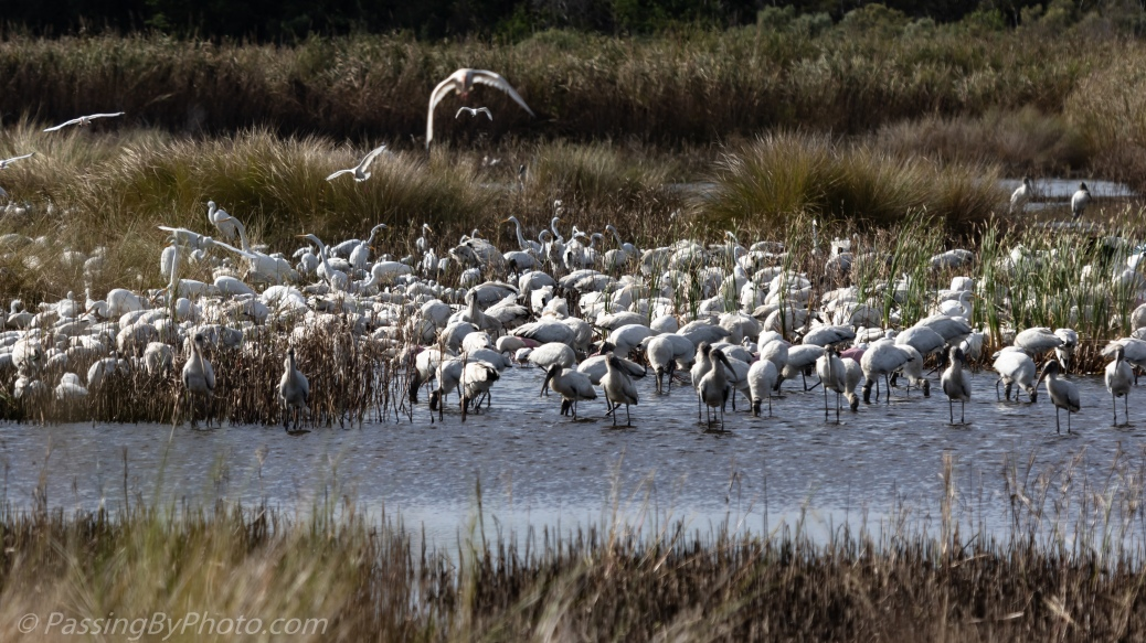 Wading Birds Feeding