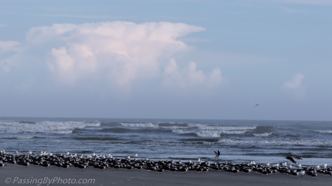 Black Skimmers at Surf's Edge