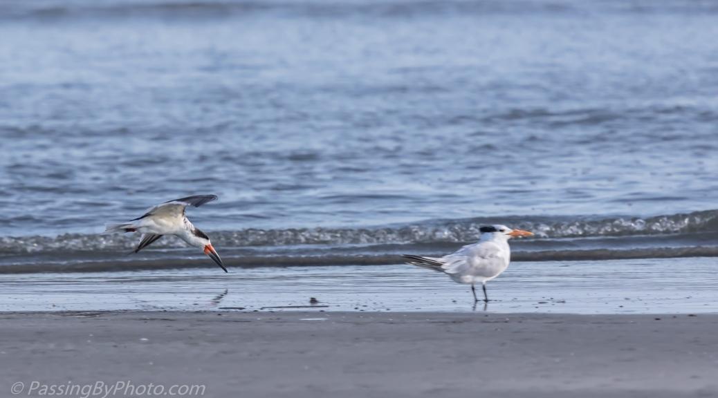 Black Skimmer Skimming past Tern