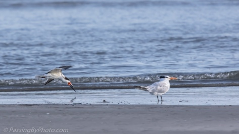 Black Skimmer Skimming past Tern