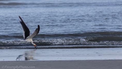 Black Skimmer Skimming in Ocean Surf