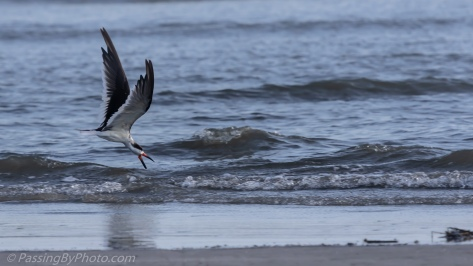 Black Skimmer Skimming in Ocean Surf