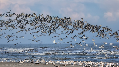 Black Skimmers, Royal Terns, Plus in Flight