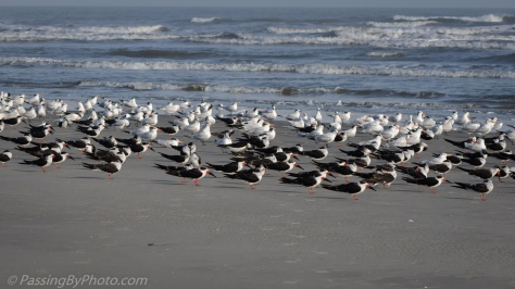 Royal Terns and Skimmers