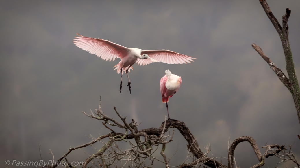 Roseate Spoonbills in Tree