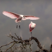 Incoming Spoonbill